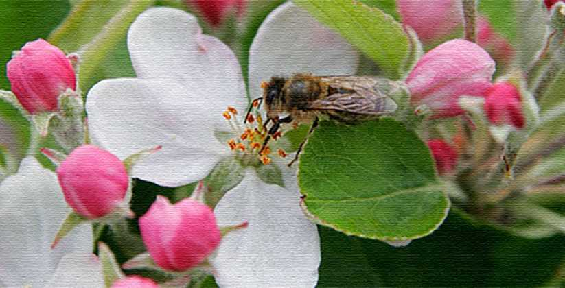 Annual Apple Blossom Festival