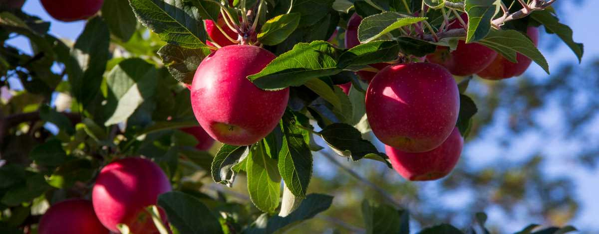 Apples Orchards - Ontario