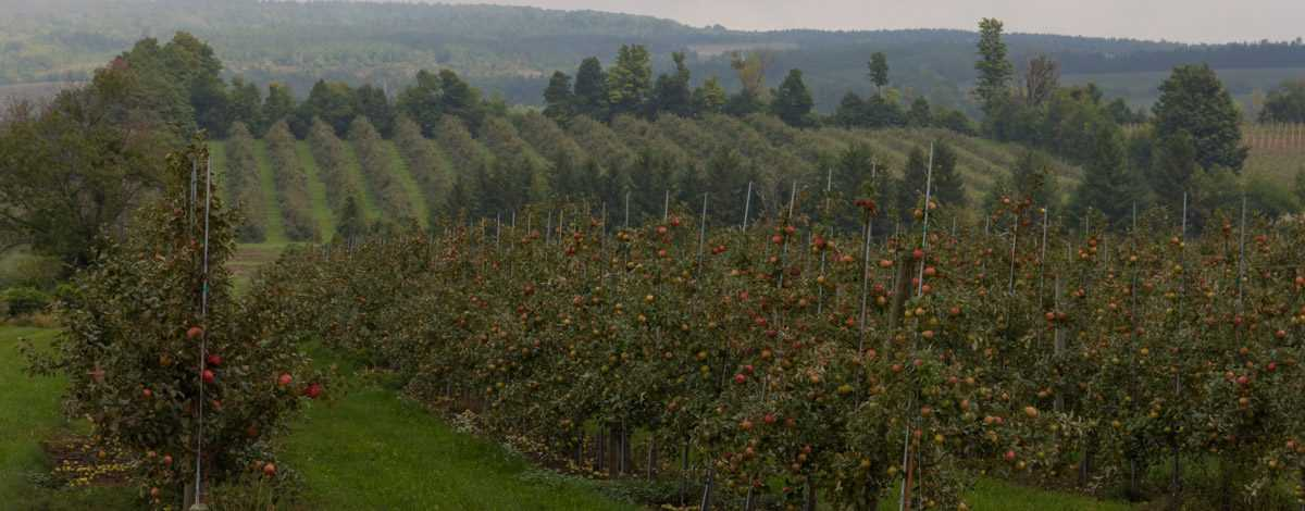 Apples & Orchards - Thornbury Ontario