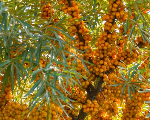 Glemsford Meadows Sea Buckthorn